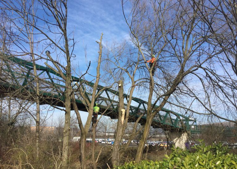 meadowhall tree works, canopy reduction, dismantling, crack willow, flood alleviation