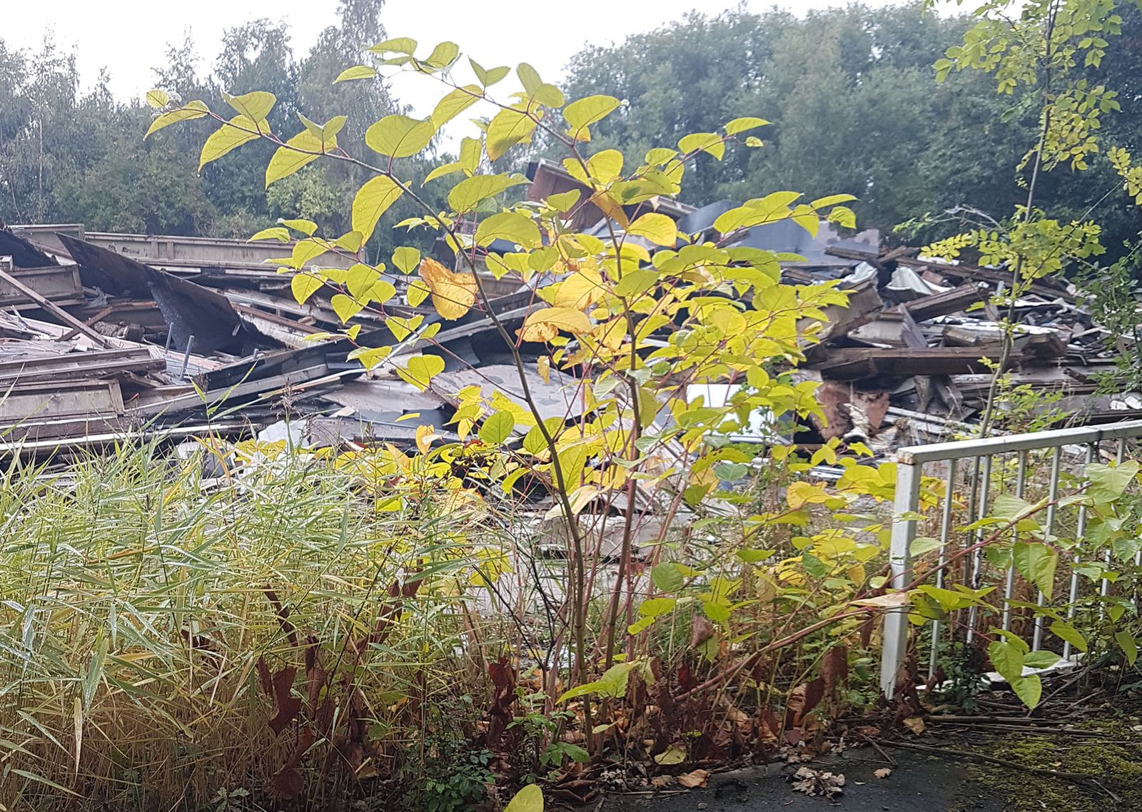 japanese knotweed, invasive non-native species