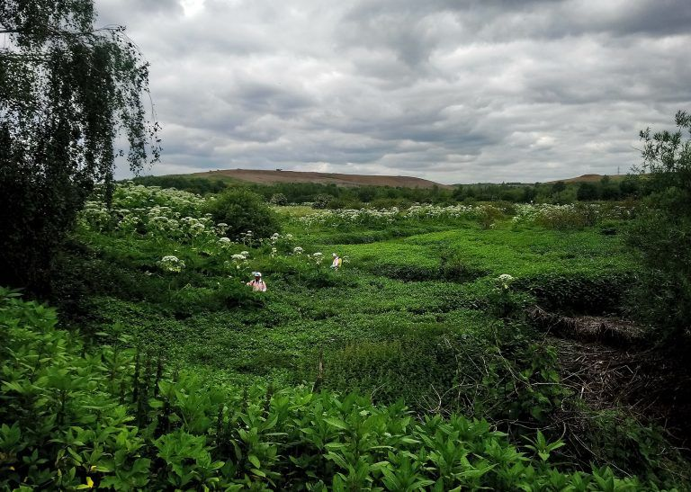 giant hogweed, environment agency, herbicidal treatment, sprayiing, round up, glyphosate